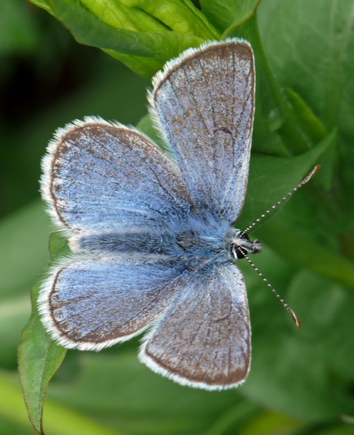 Greenish blues can be identified by the small dark bar on the upper forewing. They are common in wetlands because their caterpillars eat clovers.