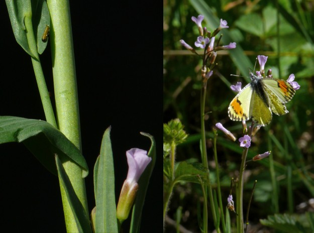 Sara orangetip caterpillar and adult female