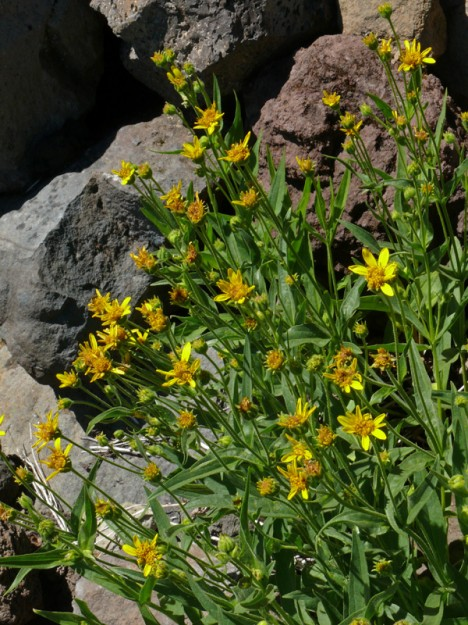 Longleaf arnica (Arnica longifolia) growing among the rocks in the talus slope