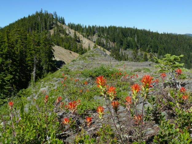 The flowers were quite pretty, including this clump of frosted paintbrush (Castilleja pruinosa).