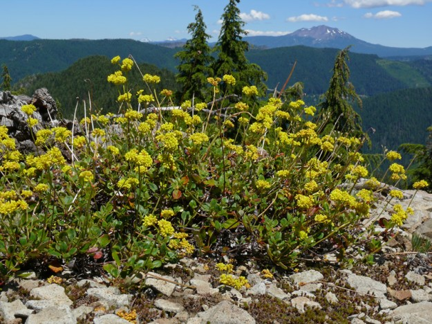 Marum-leaved buckwheat has smaller flower heads in looser umbels than the similar sulphur buckwheat. To the east, you can see Diamond Peak and a little of the Three Sisters.
