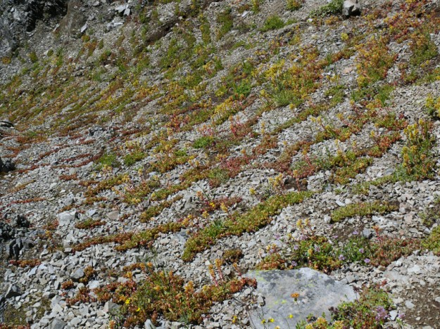 creamy stonecrop (Sedum oregonense) forms an interesting pattern on the gravelly slope above the forest on the west slope.