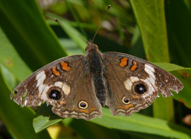 The common buckeye (Junonia coenia) has striking markings.