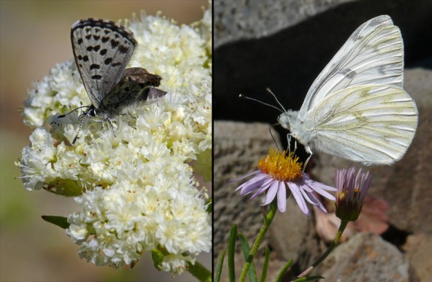 Butterflies were abundant, but the hot day meant they were flying very fast and were frustratingly hard to photograph. Left, this poor dotted blue had deformed hindwings, but apparently it was getting along fine and even attracted another blue. Right, the western whites were landing frequently on the pretty blossoms of leafy fleabane (Erigeron foliosus var. confinis)