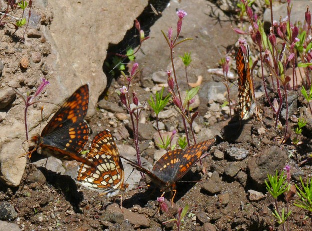 Four northern (or possibly Hoffman's) checkerspots puddling in a seep. The tiny pink flowers are Brewer's monkeyflower (Mimulus breweri).