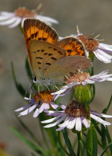 A pretty lilac-bordered copper sips from leafy fleabane (Erigeron foliosus)