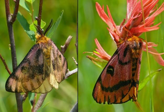 Sheep moths (Hemileuca eglanterina). Male on the left, female on the right on Castilleja miniata.