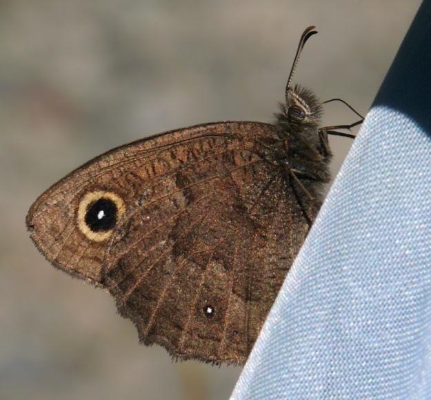 Great Basin wood nymph
