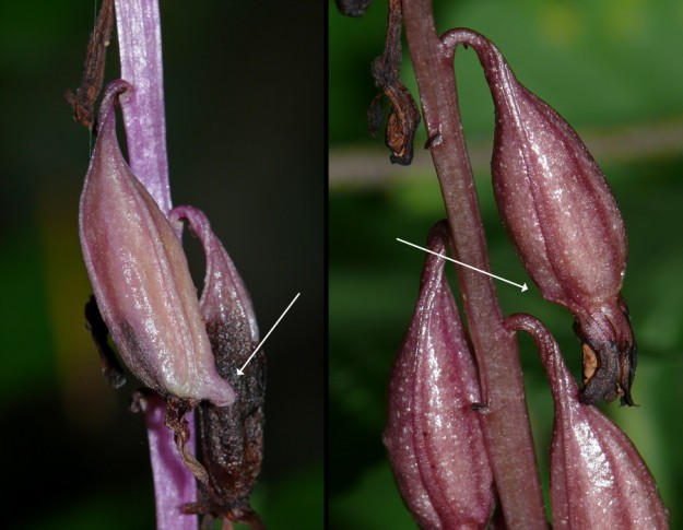 How to identify western coralroot out of bloom