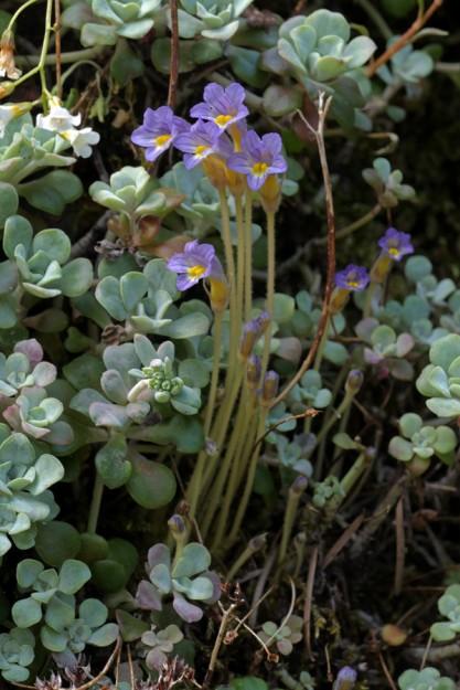 Orobanche uniflora growing in Sedum spathulifolium, a common host