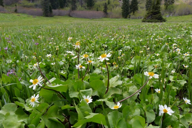 In the vast wetlands across from the beginning of Road 452, the marsh marigold (Caltha leptosepala) were at peak bloom, while the mountain shooting star (Dodecatheon jeffreyi) were getting started. These are probably a month earlier than usual.