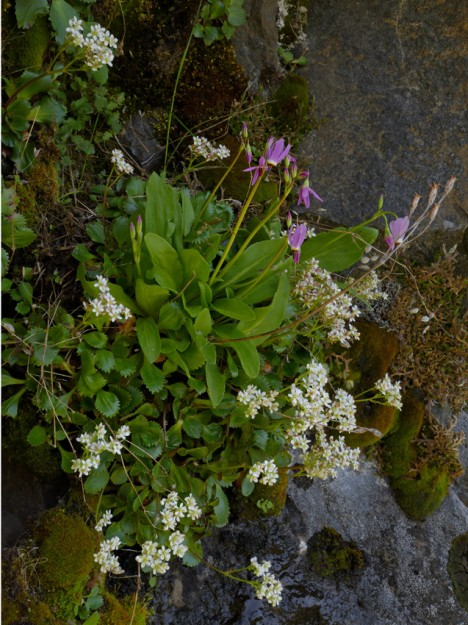 beautiful shooting star and rustyhair saxifrage blooming under an overhanging rock but