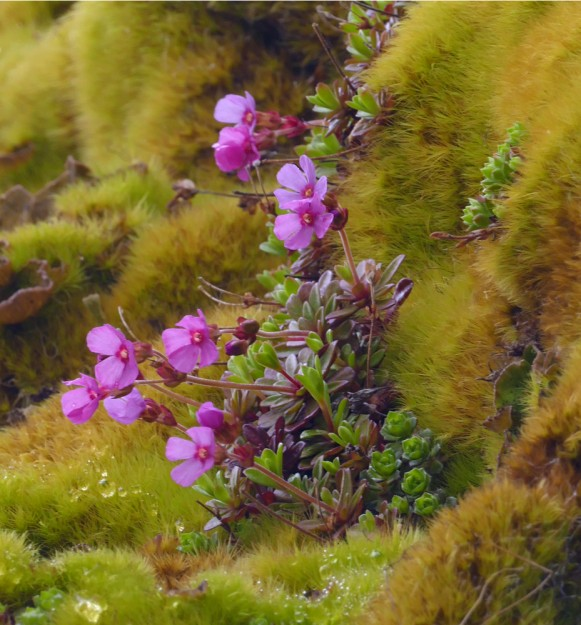 A lovely blooming Douglasia plant nestled in the moss above my head