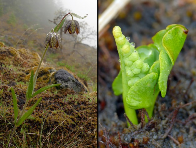 Left) Fritillaria affinis is one of the few flowers that looks beautiful when wet. Right) The tiny least moonwort (Botrychium simplex) was just emerging along the roadside.