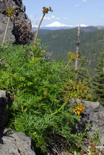 Fern-leaved lomatium along the edge of the upper cliff with the Three Sisters in the distance.