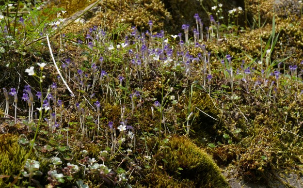 Hundreds of little Orobanche uniflora on the mossy cliff ledges