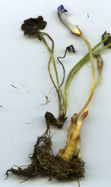 Orobanche uniflora attached to its host, Romanzoffia californica