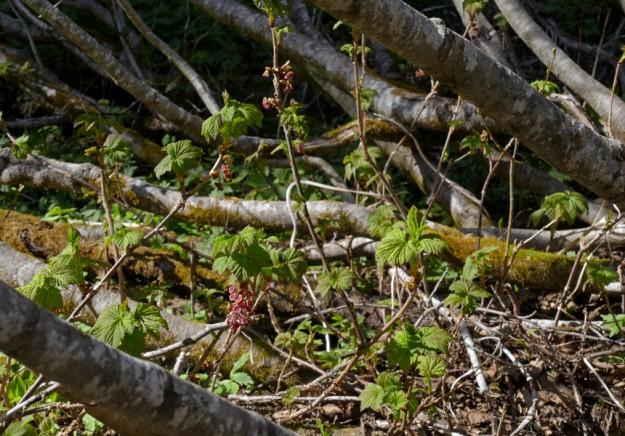 American red currant (Ribes triste) running around under the alder thicket.