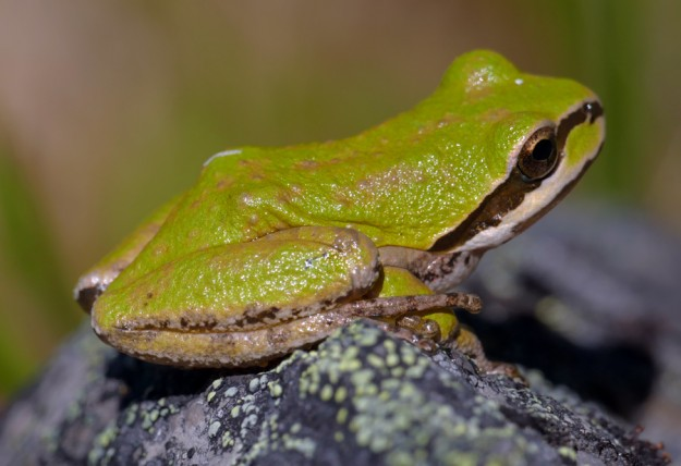 I see pacific chorus frogs almost every time I go to Bristow Prairie, even in the rocky areas.