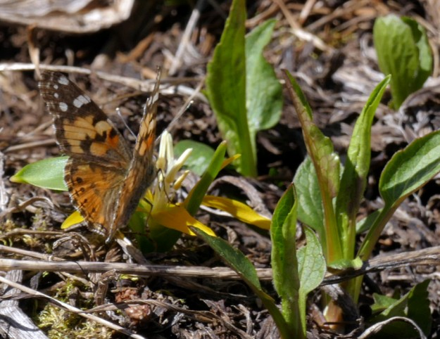 A painted lady drinks from an upturned glacier lily (Erythronium grandiflorum). Painted ladies are very common this spring.