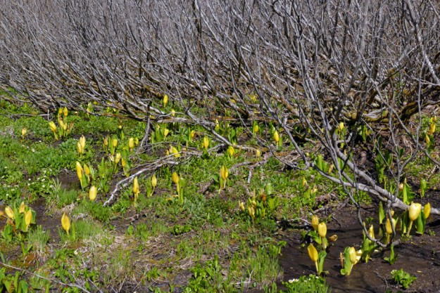 The small wetland hidden in a ring of alders had a lovely and pleasant-smelling display of skunk cabbage (Lysichiton americanus).