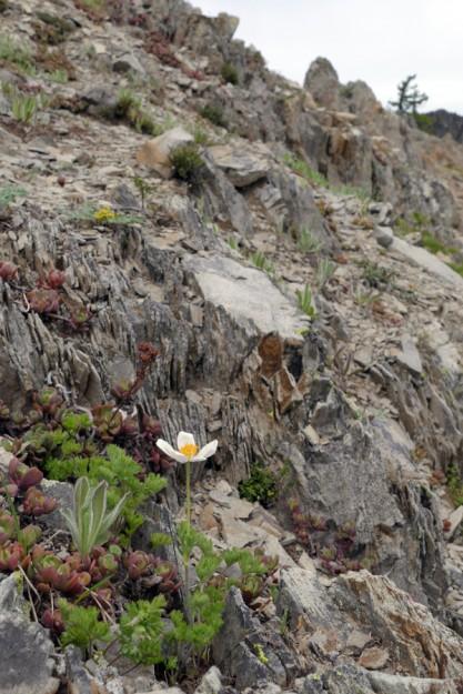 Drummond's anemone (Anemone drummondii) growing in the wonderful shaley rocks on the ridge.
