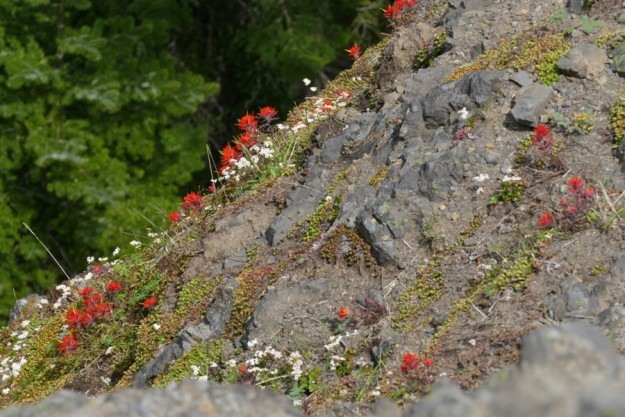 Beautiful cliff paintbrush bloom on the steep north cliff of the lower slope.