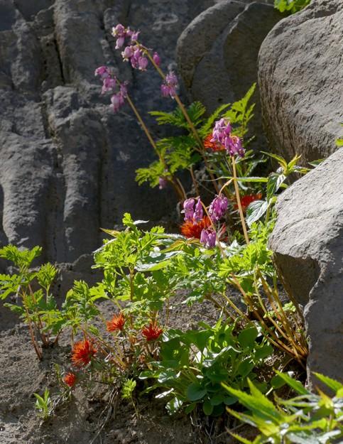 Cliff paintbrush (Castilleja rupicola)