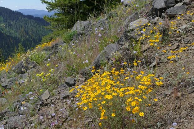 Oregon sunshine (Eriophyllum lanatum) was especially plentiful and at peak bloom.