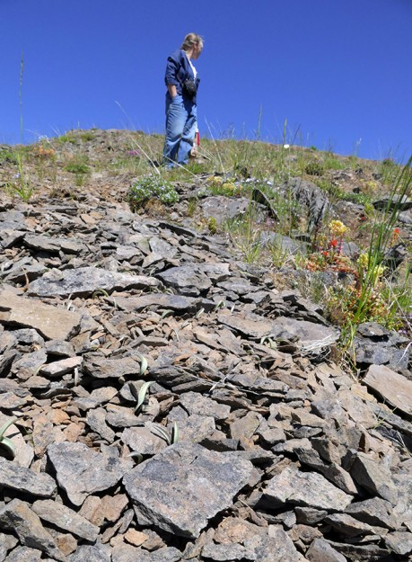 Pat standing above a gravel scree filled with Siskiyou fritillary (Fritillaria glauca) leaves.