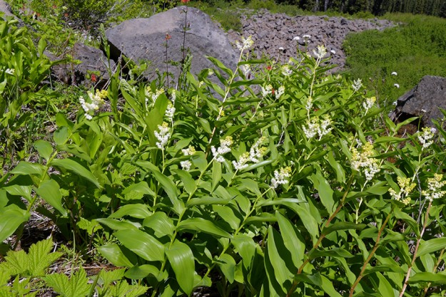 False Solomon's seal (Maianthemum racemosum) growing abundantly out on the open slope.