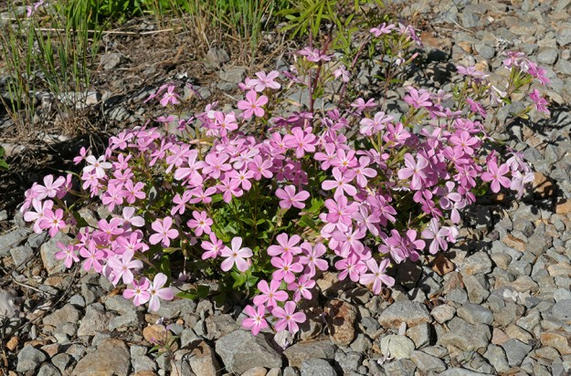 Woodland phlox (Phlox adsurgens) actually loves growing in gravel roads as well as in the woods. It was in perfect bloom in many places along our long drive.