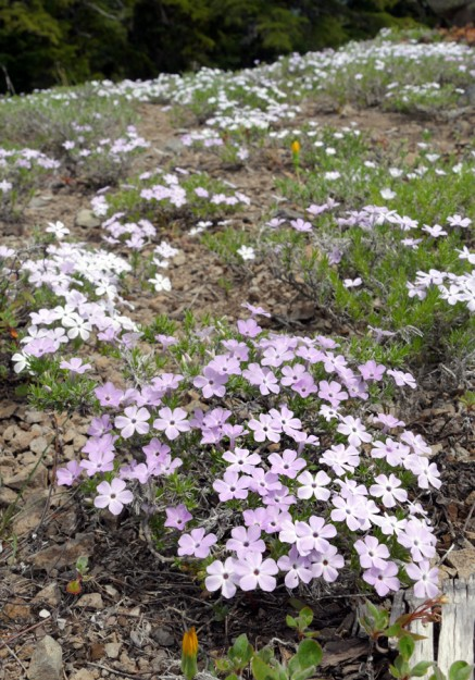 Spreading phlox (Phlox diffusa) in peak bloom. The two deep yellow flowers are false agoseris (Nothocalais alpestris) closed up for the afternoon.