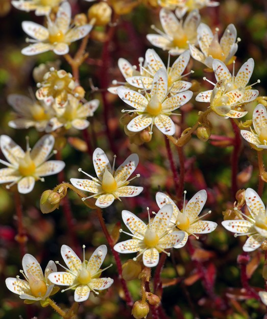 Up close, it is easy to see why Saxifraga bronchialis is called spotted saxifrage.