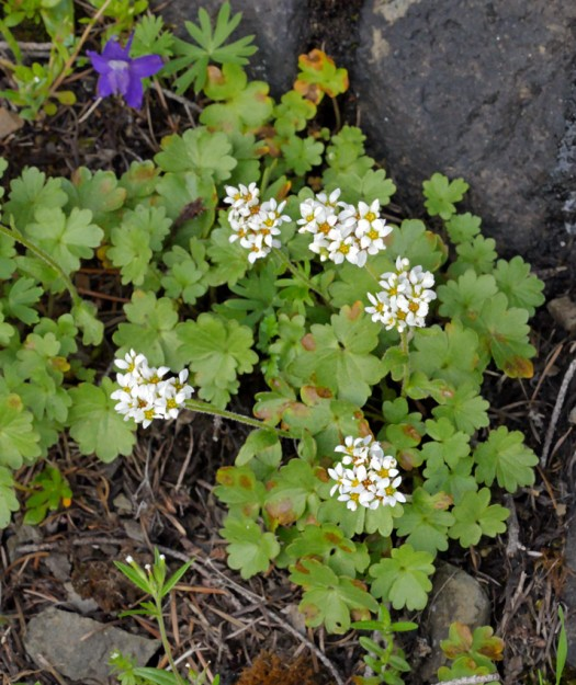 Buttercup-leaved suksdorfia looks a lot like other members of the saxifrage family with palmate leaves and white 5-petaled flowers.