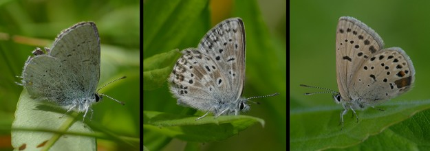 Left) western tailed blue, middle) Sierra Nevada blue, right) greenish blue