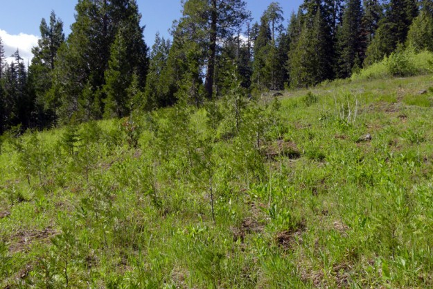 Young incense cedars (Calocedrus decurrens) invading the base of the meadow.