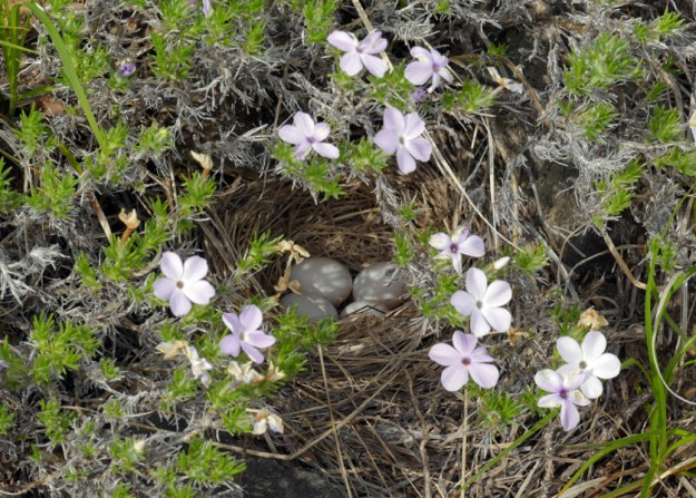 A junco bursting out right in front of me led to the discovery of its nest hidden beneath spreading phlox (Phlox diffusa).