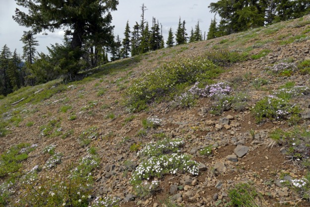 Spreading phlox (Phlox diffusa) are abundant on the summit slope of Loletta Peak.