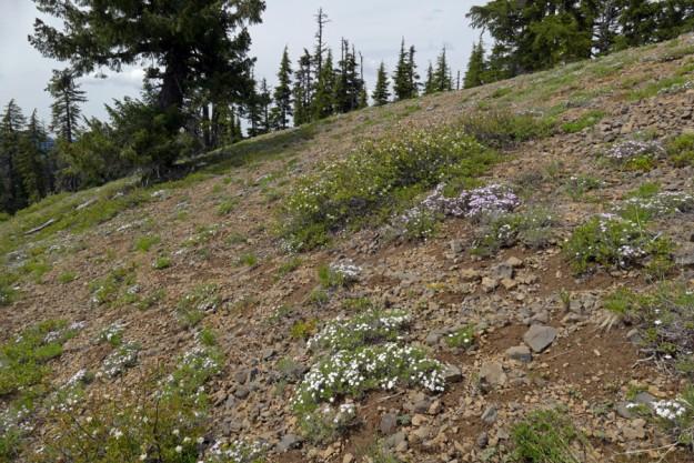Spreading phlox (Phlox diffusa) are abundant on the summit slope of Loletta Peak.