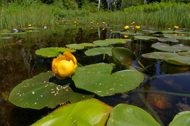 Yellow pond lilies (Nuphar polysepala) in a shallow pool in Zen Meadow.