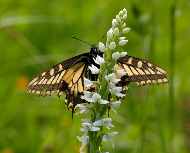 An anise swallowtail waiting for the sun to come back out on a white bog orchid (Platanthera dilatata).