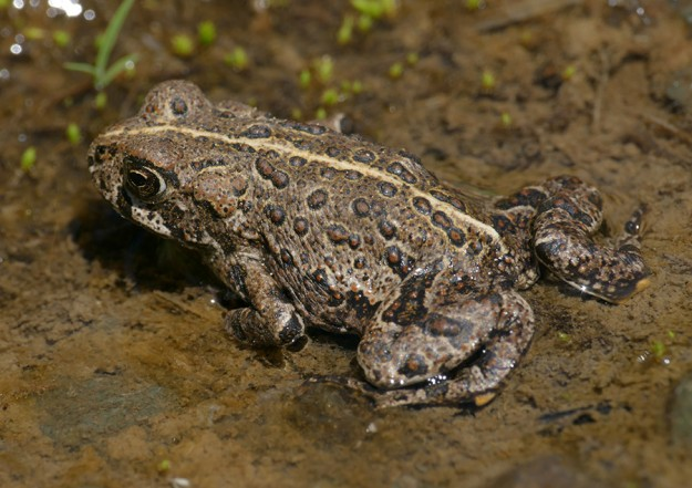 Several toads were hopping across the road to the wet ditch.