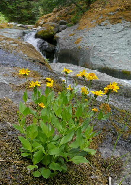 Streambank arnica (Arnica amplexicaulis) growing on the rocks in Staley Creek.