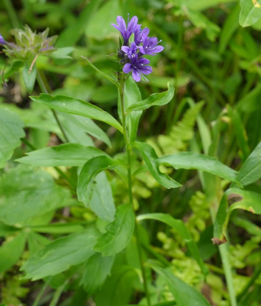 Mount Mazama collmia is a rare perennial found only within 30 or so miles of Crater Lake.