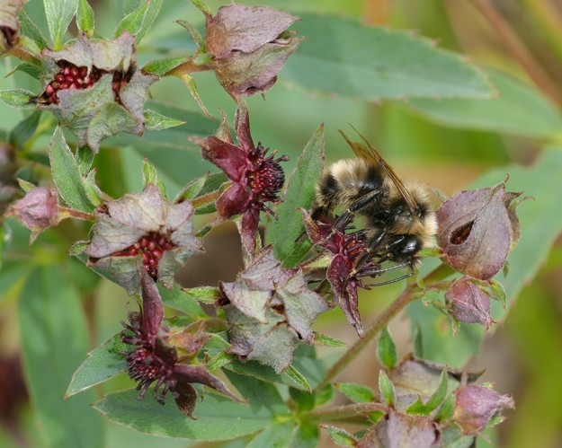 Bumblebees seem to love the flowers of swamp cinquefoil. The deep red inside surface of the sepals resemble petals, which in this species are quite small and inconspicuous.