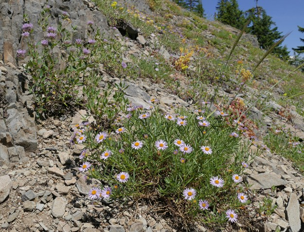 Leafy fleabane (Erigeron foliosus) with coyote mint and creamy stonecrop.