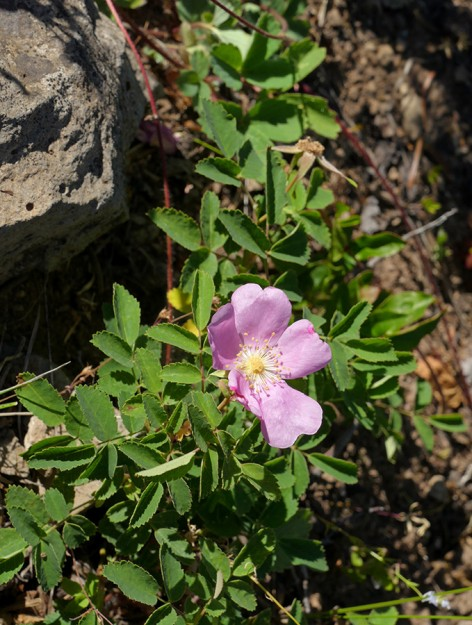 The mystery rose growing on the ground. The red runner and leaves above are those of a strawberry (Fragaria vriginiana), also in the rose family.