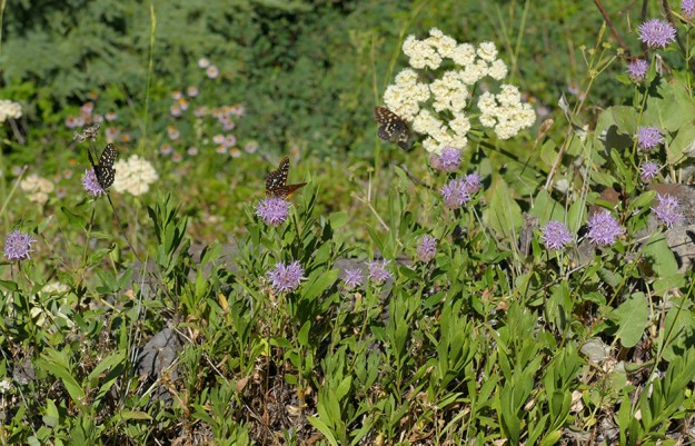 Three checkerspot butterflies delight in the abundance of coyote mint (Monardella odoratissima) on the rocky ridge just above Road 2154.
