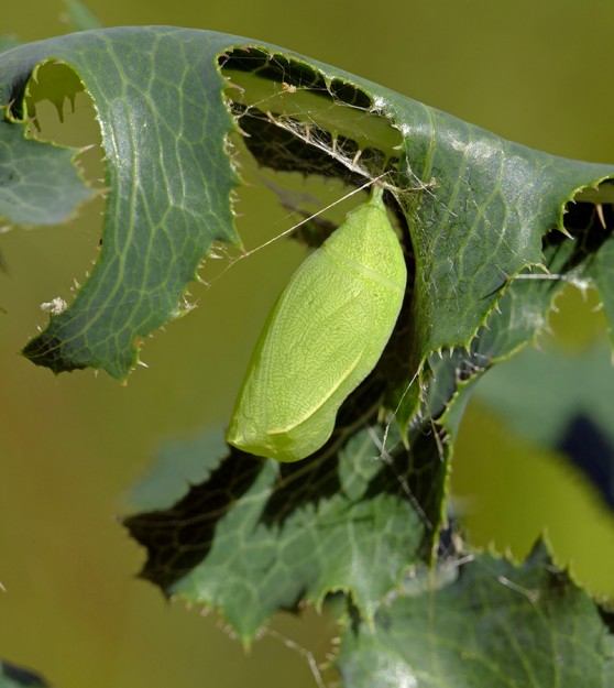 A butterfly chrysalis, most likely that of a wood nymph species.